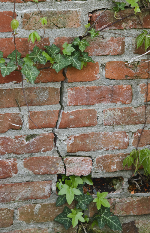 Ivy in Bricks