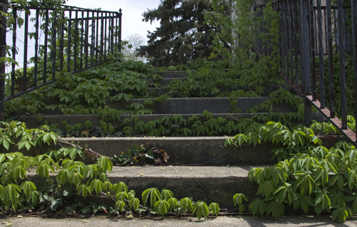 Ivy-covered steps